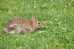 Cottontail Rabbit royalty free stock image
