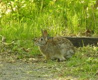 Cottontail Rabbit 2. Cottontail rabbit at woods edge Stock Image