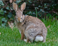 Cottontail Rabbit Royalty Free Stock Photography