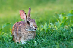 Cottontail rabbit. Happy looking cottontail rabbit, Lepus sylvaticus Stock Image