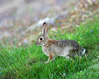 Cottontail Rabbit. A Cottontail rabbit nibbles on grass stock image