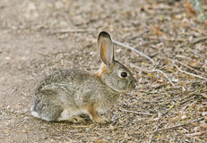 Cottontail Rabbit #6. Cottontail Rabbit (juvenile) is a common species throughout North America stock photography