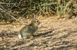 Cottontail Rabbit #6. Cottontail Rabbit (juvenile) is a common species throughout North America stock photo
