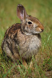 Cottontail Rabbit. A cottontail rabbit basking in the afternoon sun in a field Royalty Free Stock Photo