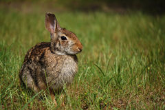 Cottontail Rabbit. A cottontail rabbit basking in the afternoon sun in a field Stock Photo