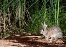 A cottontail rabbit with a big piece of one ear missing is hopping past some cattail reeds and other marsh plants royalty free stock photos