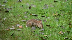 Cottontail Rabbit Browsing stock video