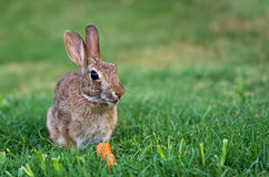 Cottontail rabbit bunny. Eating carrot royalty free stock photography