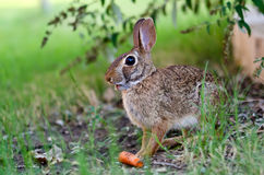 Cottontail rabbit bunny eating carrot Royalty Free Stock Photos