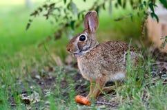 Cottontail rabbit bunny eating carrot Royalty Free Stock Photos