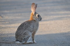 Cottontail Rabbit. California Desert Cottontail Rabbit (Sylvilagus audubonii) in San Diego County Stock Images