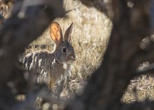 Cottontail rabbit and cholla cactus royalty free stock photo