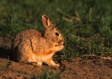 Cottontail Rabbit Cleaning Paw Royalty Free Stock Photos