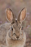 Cottontail Rabbit Close Up Stock Images