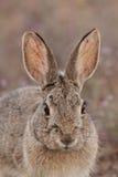 Cottontail Rabbit Close Up Stock Images