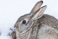 Cottontail Rabbit Close Up. A cute cottontail rabbit in snow Stock Image
