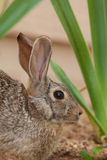 Cottontail Rabbit Close Up Portrait Stock Photo