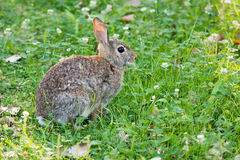Cottontail Rabbit In The Clover Stock Image