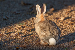 Cottontail Rabbit. A cute cottontail rabbit sitting in gravel Royalty Free Stock Images