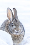 Cottontail Rabbit Royalty Free Stock Images