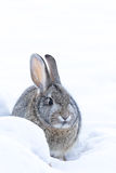 Cottontail Rabbit in Deep Snow. A cute cottontail rabbit in snow Stock Photo