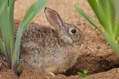 Cottontail Rabbit at Den. A cottontail rabbit sits outside it den Stock Photo