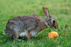 Cottontail Rabbit Eating Stock Photo
