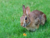 Cottontail rabbit eating carrot Royalty Free Stock Photo