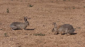 Cottontail Rabbit Face Off stock video