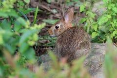 Cottontail Rabbit. Feeding on plants in morning sun Stock Image