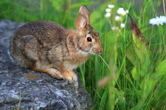 Cottontail Rabbit. Feeding on plants in morning sun Stock Photos