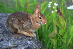 Cottontail Rabbit. Feeding on plants in morning sun Royalty Free Stock Image