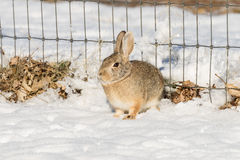 Cottontail Rabbit by Fence in Snow. A cute cottontail rabbit in snow by a backyard fence Royalty Free Stock Photography