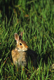 Cottontail Rabbit in Grass. A cottontail rabbit resting in green grass Stock Images