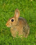 Cottontail Rabbit. In the Grass Royalty Free Stock Photography