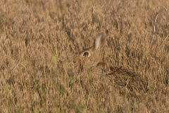 Cottontail Rabbit Hiding Royalty Free Stock Photography