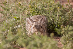 Cottontail Rabbit Hiding Stock Photos