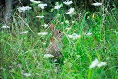 A Cottontail Rabbit Hiding in Tall Grass stock photography