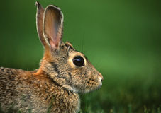 Cottontail Rabbit Portrait. A close up side portrait of a cottontail rabbit Royalty Free Stock Photo