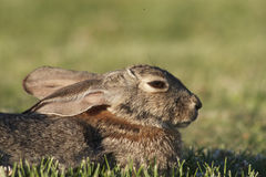Cottontail Rabbit Portrait Stock Photos