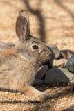 Cottontail Rabbit Portrait. A close up portrait of a cottontail rabbit Stock Photo