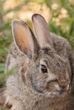 Cottontail Rabbit Portrait Royalty Free Stock Photography
