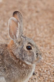 Cottontail Rabbit Portrait Royalty Free Stock Image