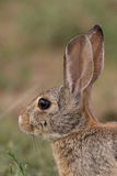 Cottontail Rabbit Portrait. A close up of a a cute cottontail rabbit Stock Photography