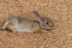 Cottontail Rabbit Resting Royalty Free Stock Images