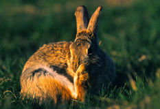 Cottontail Rabbit Scratching Stock Images