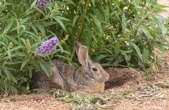 Cottontail Rabbit. A cottontail rabbit sits under a plant Stock Photos