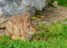 Cottontail Rabbit. A Cottontail Rabbit sitting beside a boulder Stock Photography