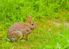 Cottontail Rabbit. Sitting on a footpath looking into the woods Royalty Free Stock Photos
