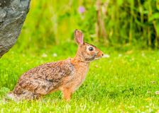 Cottontail Rabbit. Sitting on a footpath looking into the woods Royalty Free Stock Photo